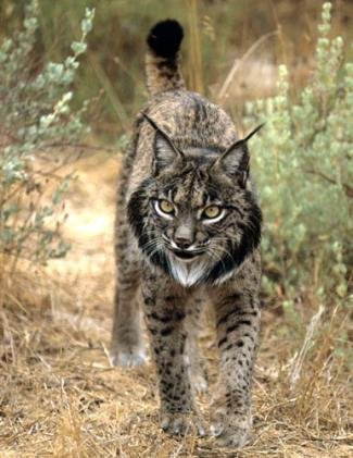 spanish lynx essay Please see our brief essay additional information encyclopedia of life lynx lynxes species lynx pardinus spanish lynx lynx pardinus: information (1) lynx.