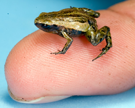 smallest-frog-pictures_big