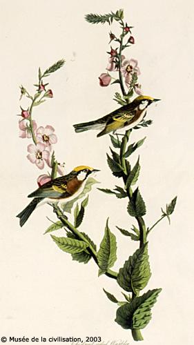 birdsofamerica 59
