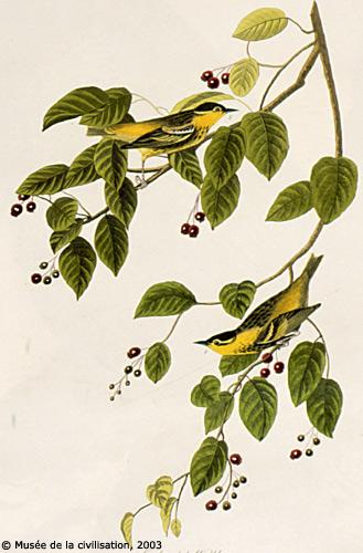 birdsofamerica 60