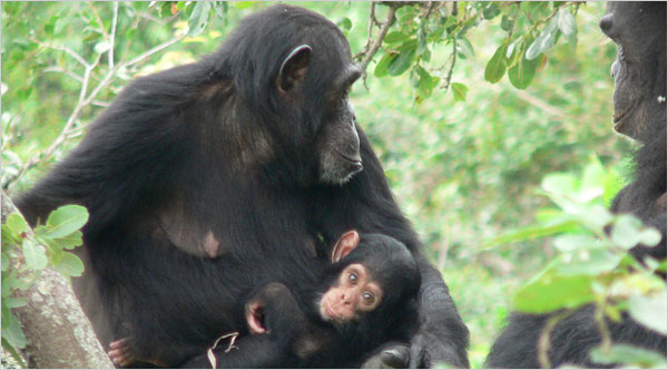 Chimpanzees Do Die From Simian AIDS, Study Finds – Cervantes