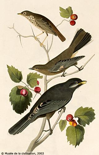 audubon_419
